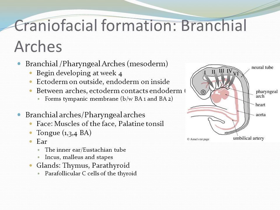 Craniofacial formation: Branchial Arches Branchial /Pharyngeal Arches (mesoderm) Begin developing at week 4 Ectoderm on outside, endoderm on inside Be