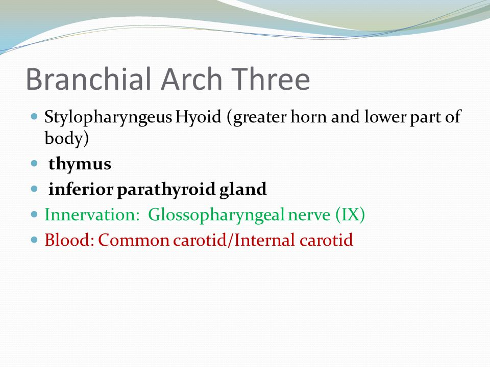 Branchial Arch Three Stylopharyngeus Hyoid (greater horn and lower part of body) thymus inferior parathyroid gland Innervation: Glossopharyngeal nerve