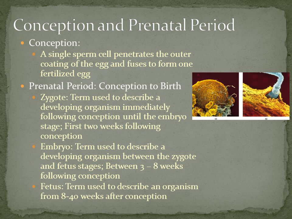 Conception: A single sperm cell penetrates the outer coating of the egg and fuses to form one fertilized egg Prenatal Period: Conception to Birth Zygote: Term used to describe a developing organism immediately following conception until the embryo stage; First two weeks following conception Embryo: Term used to describe a developing organism between the zygote and fetus stages; Between 3 – 8 weeks following conception Fetus: Term used to describe an organism from 8-40 weeks after conception