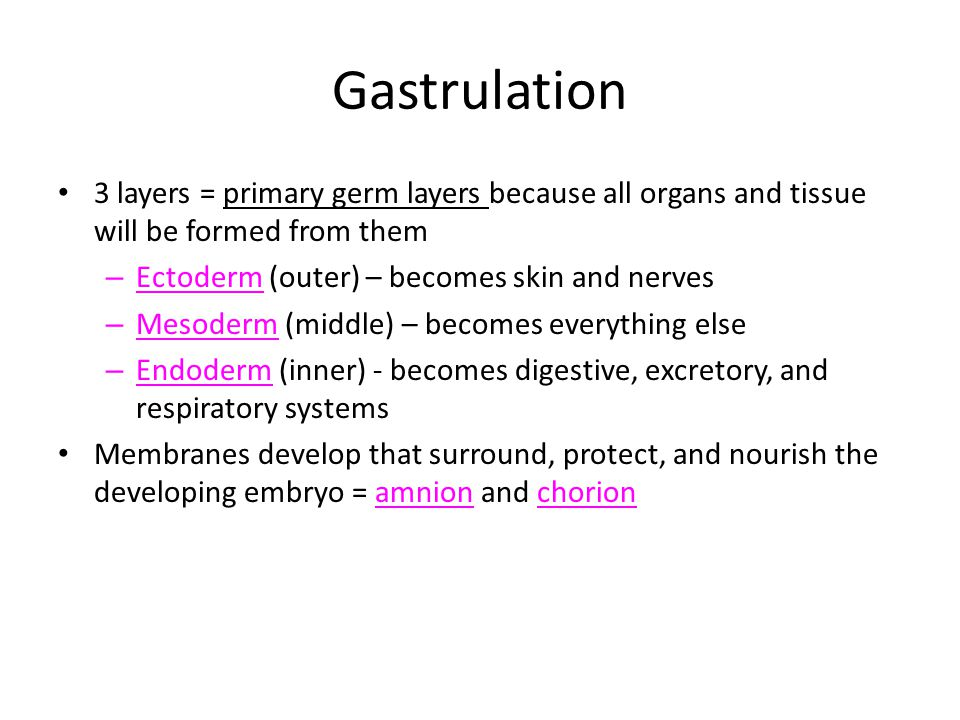 Gastrulation 3 layers = primary germ layers because all organs and tissue will be formed from them – Ectoderm (outer) – becomes skin and nerves – Meso