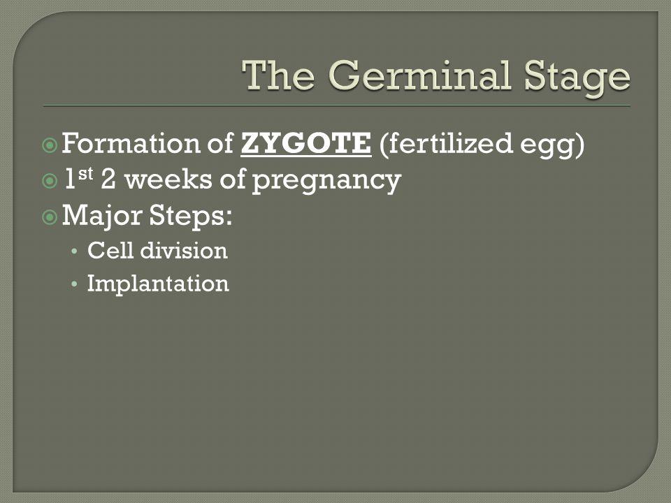  Formation of ZYGOTE (fertilized egg)  1 st 2 weeks of pregnancy  Major Steps: Cell division Implantation