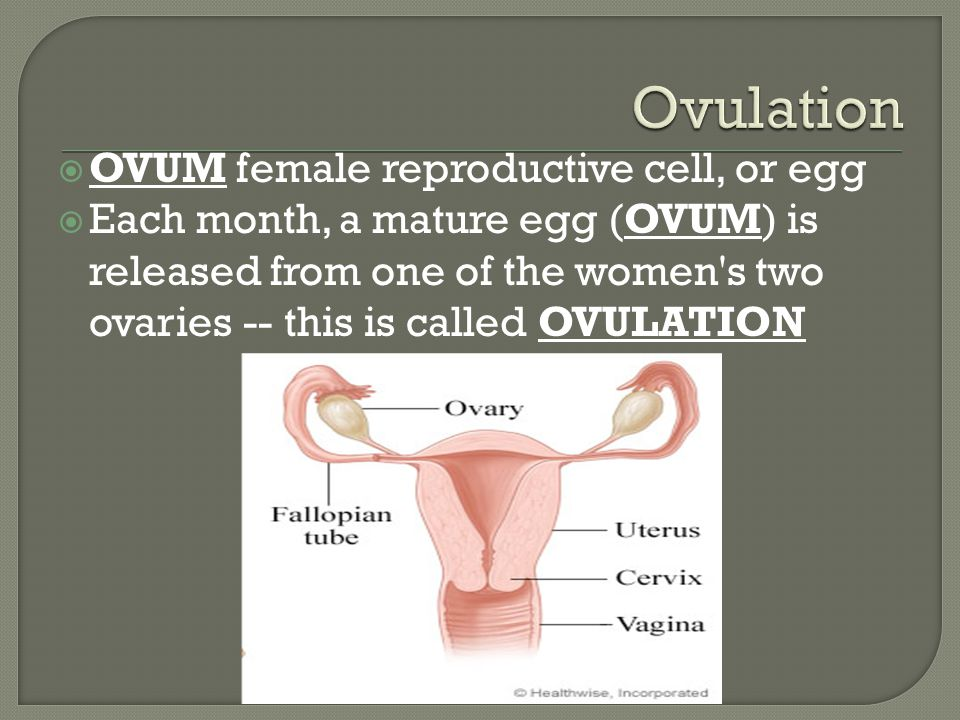 OVUM female reproductive cell, or egg  Each month, a mature egg (OVUM) is released from one of the women s two ovaries -- this is called OVULATION
