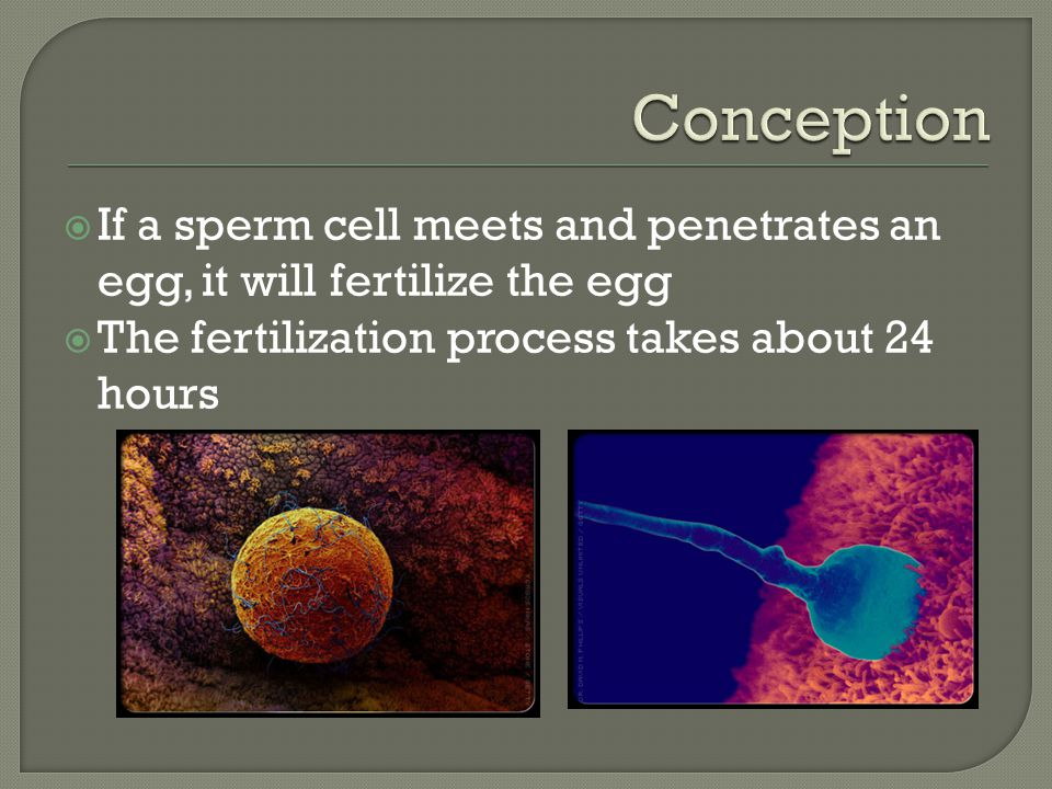  If a sperm cell meets and penetrates an egg, it will fertilize the egg  The fertilization process takes about 24 hours