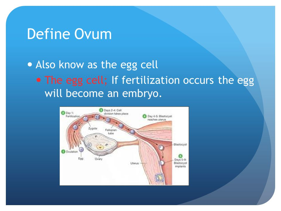 FERTILIZATION What is Fertilization? Is joining of an egg cell and a sperm cell. Where does fertilization occur? Fallopian tube The process begins whe