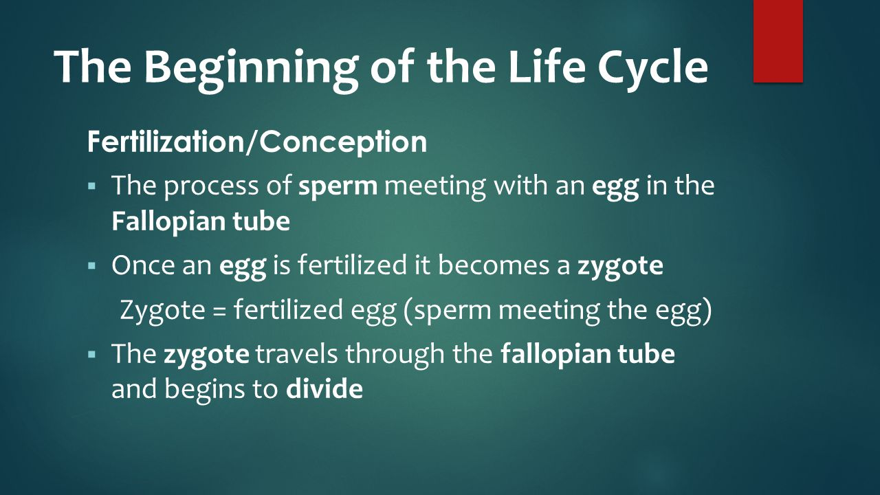 The Beginning of the Life Cycle Fertilization/Conception  The process of sperm meeting with an egg in the Fallopian tube  Once an egg is fertilized it becomes a zygote Zygote = fertilized egg (sperm meeting the egg)  The zygote travels through the fallopian tube and begins to divide