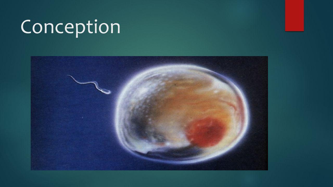 Developing Embryo (4 weeks)