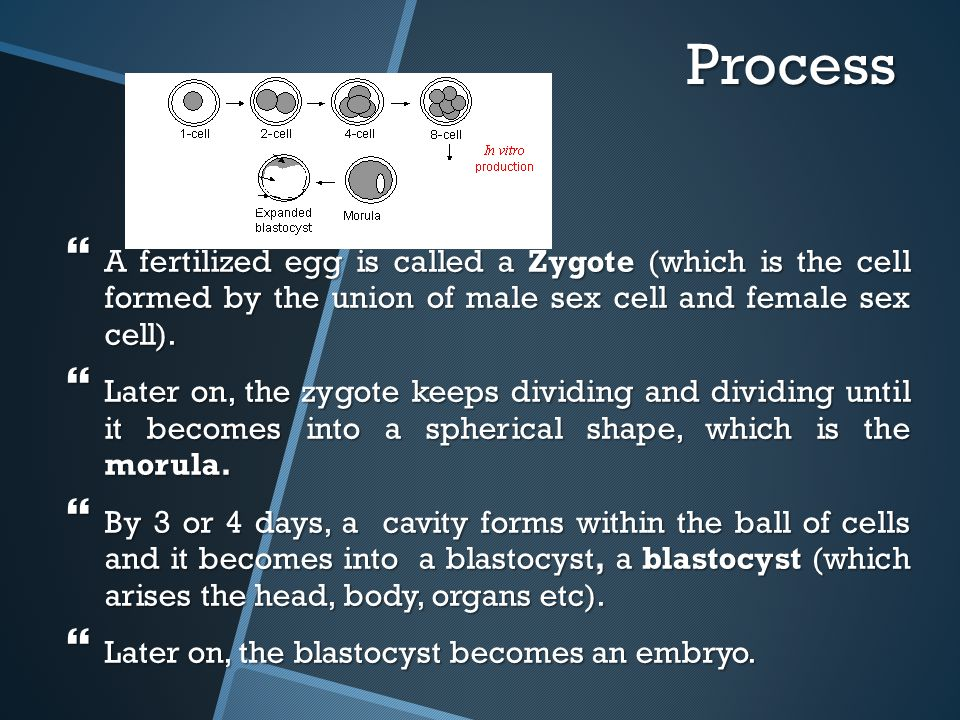 Process  A fertilized egg is called a Zygote (which is the cell formed by the union of male sex cell and female sex cell).  Later on, the zygote kee