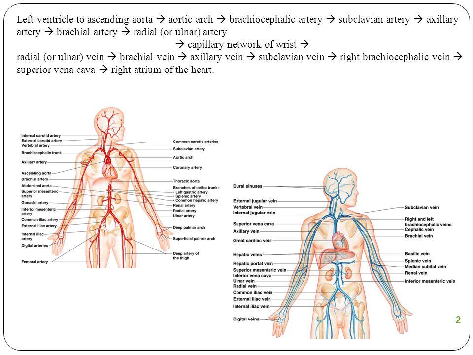 Figure 11.12 Left ventricle to ascending aorta  aortic arch  brachiocephalic artery  subclavian artery  axillary artery  brachial artery  radial