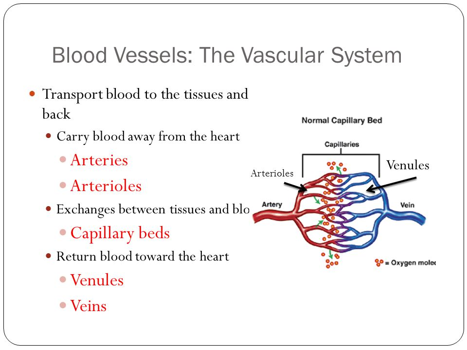 Cross-section of Artery & Vein Figure 11.9a Assume you are viewing a blood vessel under the microscope.