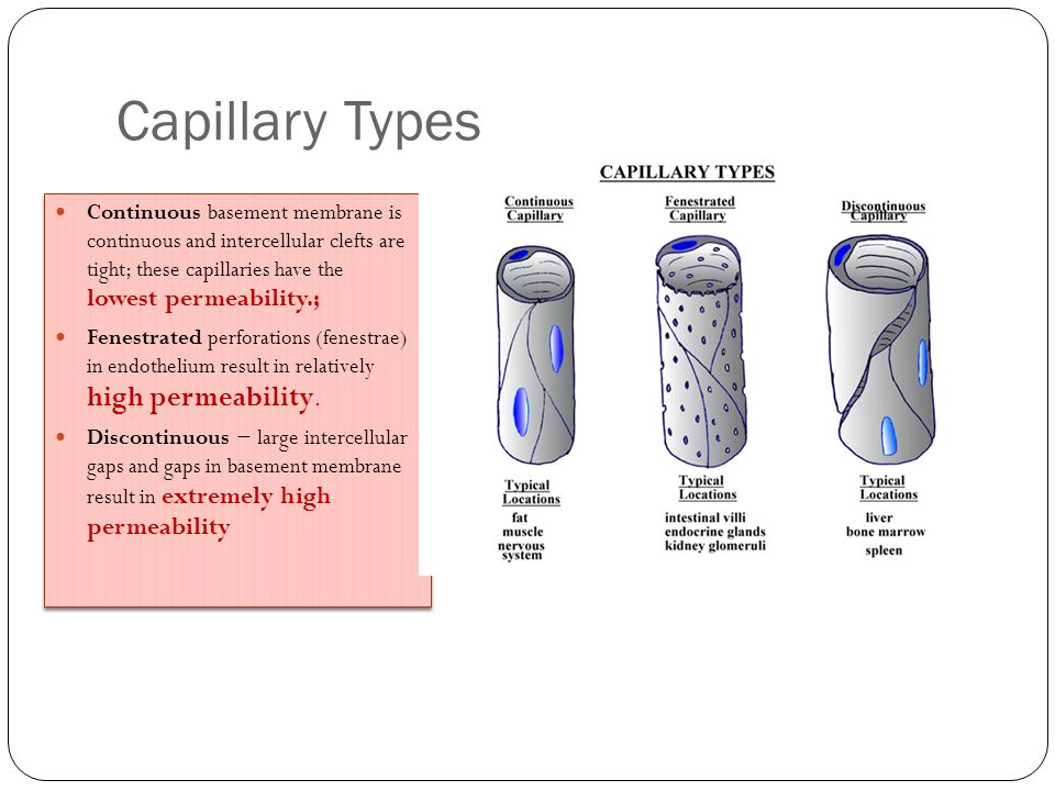 Capillary Types Continuous basement membrane is continuous and intercellular clefts are tight; these capillaries have the lowest permeability.; Fenest