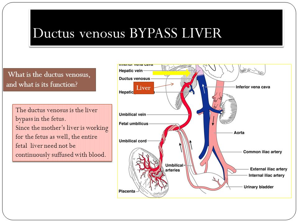 Ductus venosus BYPASS LIVER Liver What is the ductus venosus, and what is its function? The ductus venosus is the liver bypass in the fetus. Since the