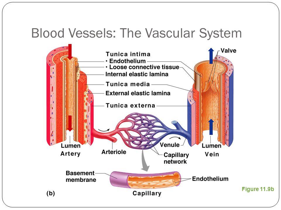 Blood Vessels: The Vascular System Figure 11.9b