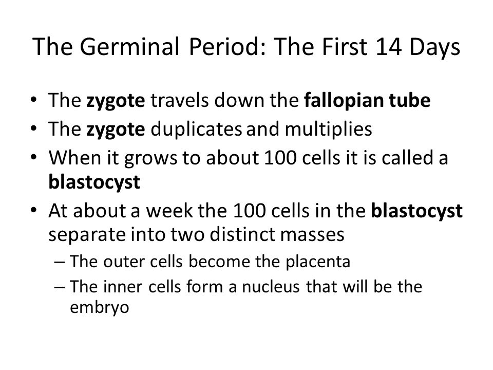 The Germinal Period: The First 14 Days The zygote travels down the fallopian tube The zygote duplicates and multiplies When it grows to about 100 cell