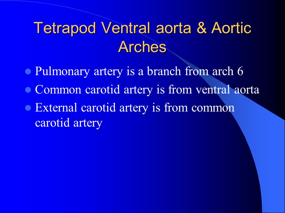 Tetrapod Ventral aorta & Aortic Arches Pulmonary artery is a branch from arch 6 Common carotid artery is from ventral aorta External carotid artery is