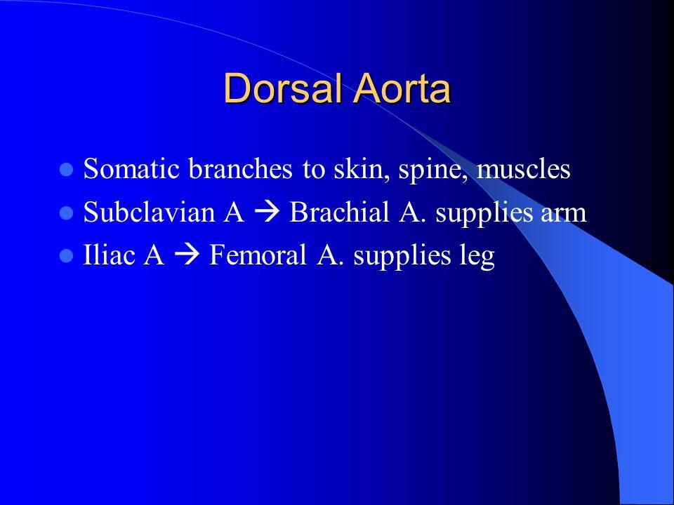 Dorsal Aorta Somatic branches to skin, spine, muscles Subclavian A  Brachial A. supplies arm Iliac A  Femoral A. supplies leg