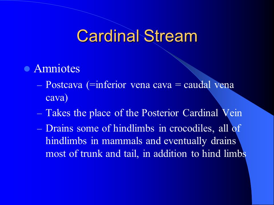 Cardinal Stream Amniotes – Postcava (=inferior vena cava = caudal vena cava) – Takes the place of the Posterior Cardinal Vein – Drains some of hindlim