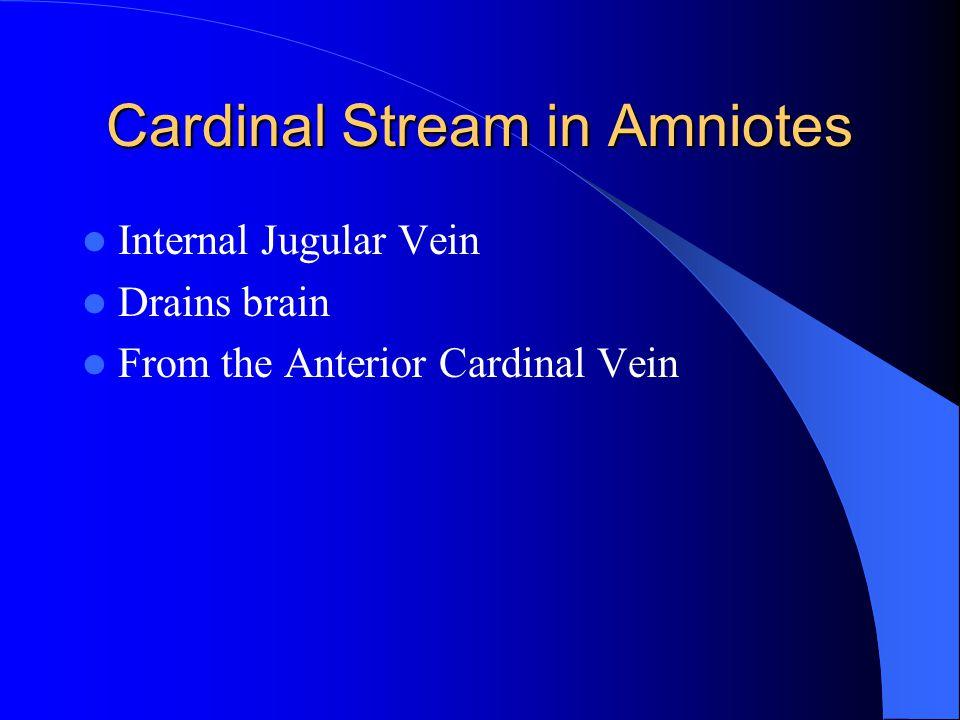 Cardinal Stream in Amniotes Internal Jugular Vein Drains brain From the Anterior Cardinal Vein