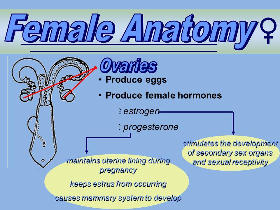 stimulates the development of secondary sex organs and sexual receptivity Produce eggs Produce female hormones  estrogen  progesterone maintains ute