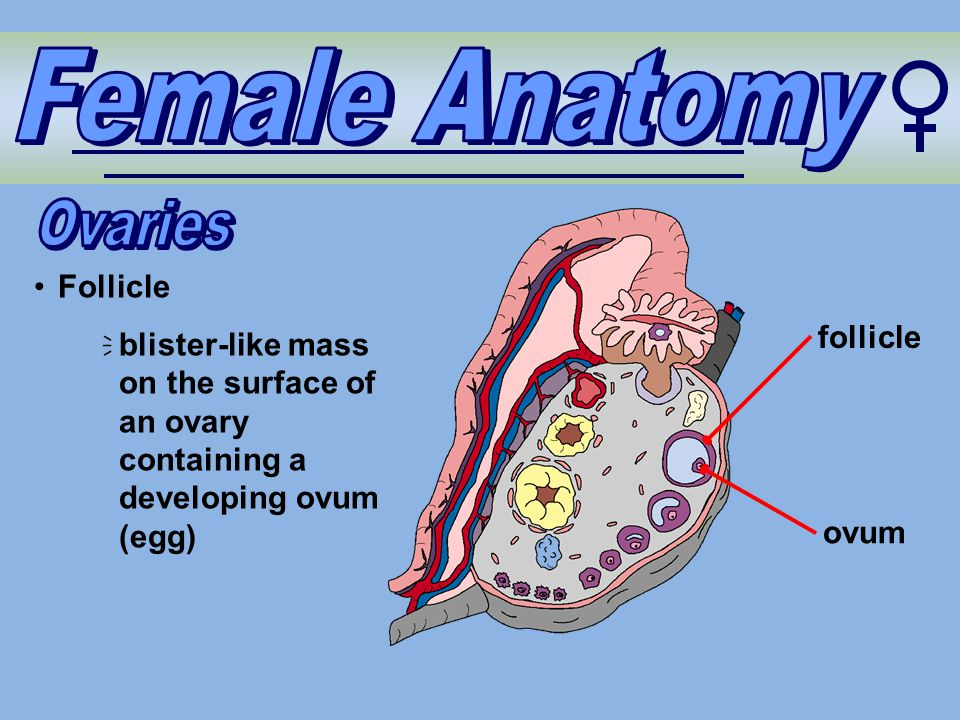 Follicle  blister-like mass on the surface of an ovary containing a developing ovum (egg) follicle ovum