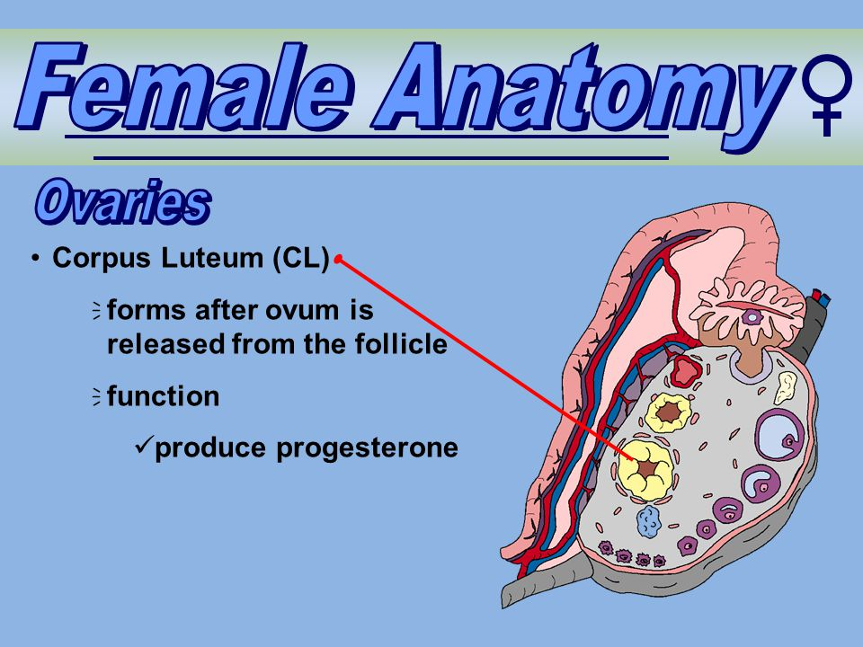 Corpus Luteum (CL)  forms after ovum is released from the follicle  function produce progesterone