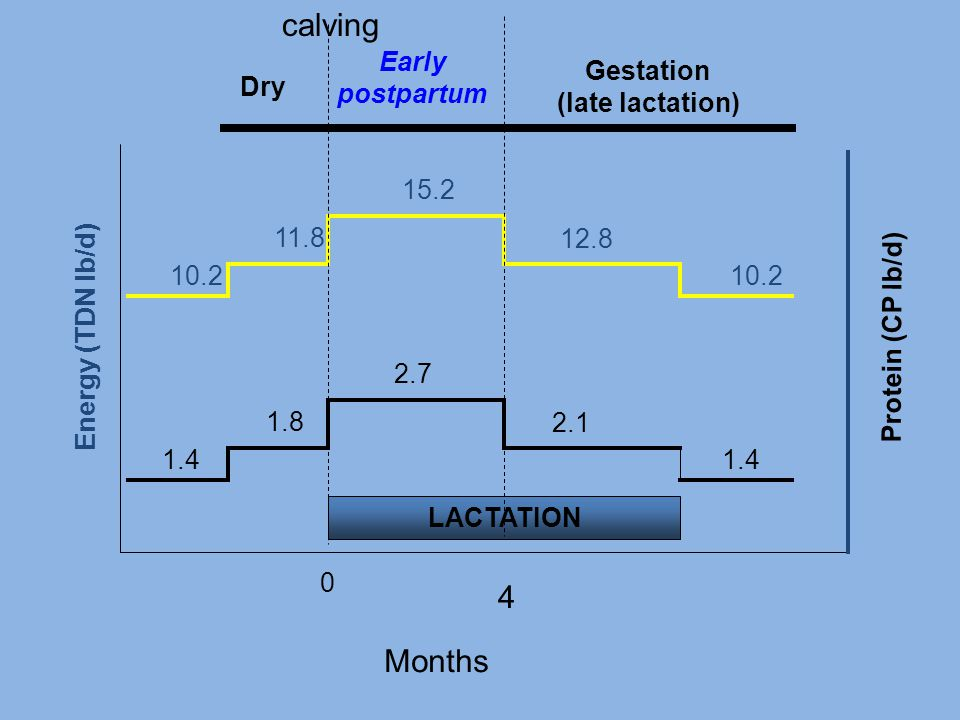 2.1 2.7 1.8 1.4 0 LACTATION 4 Months Energy (TDN lb/d) 12.8 15.2 11.8 10.2 Protein (CP lb/d) Dry Early postpartum Gestation (late lactation) calving