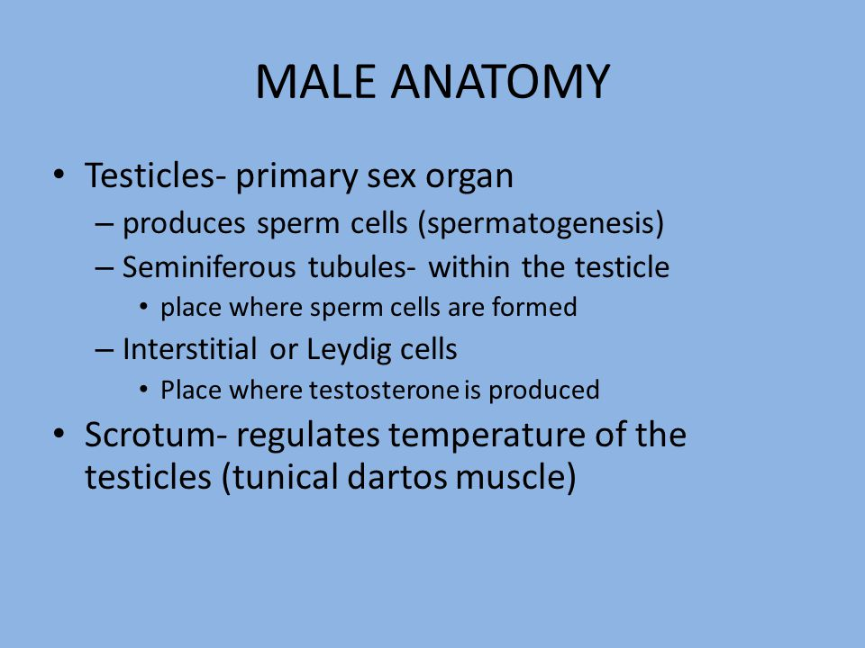 MALE ANATOMY Testicles- primary sex organ – produces sperm cells (spermatogenesis) – Seminiferous tubules- within the testicle place where sperm cells