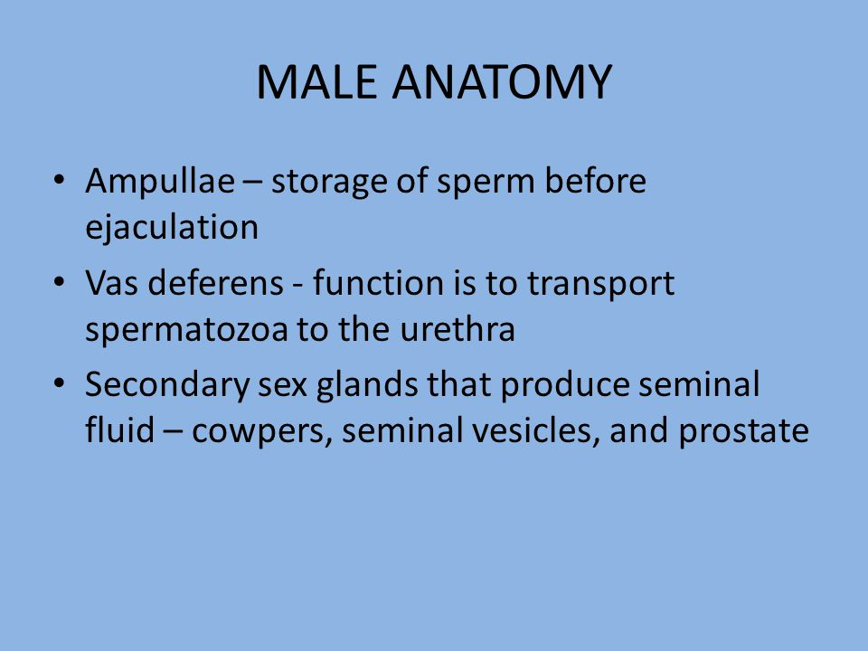 MALE ANATOMY Ampullae – storage of sperm before ejaculation Vas deferens - function is to transport spermatozoa to the urethra Secondary sex glands th