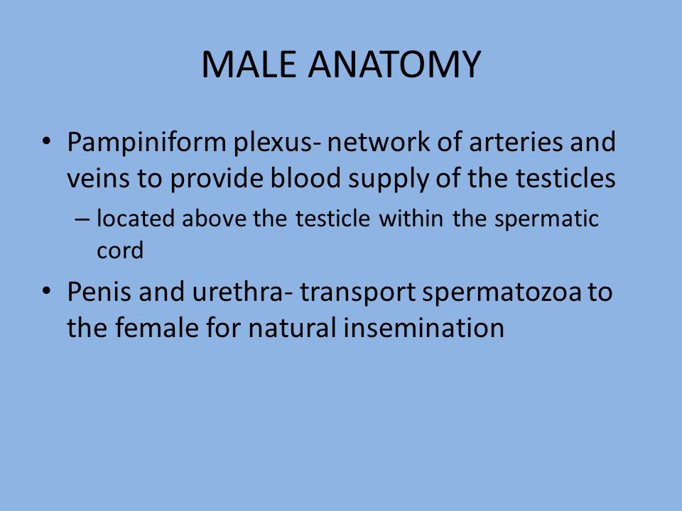 MALE ANATOMY Pampiniform plexus- network of arteries and veins to provide blood supply of the testicles – located above the testicle within the sperma