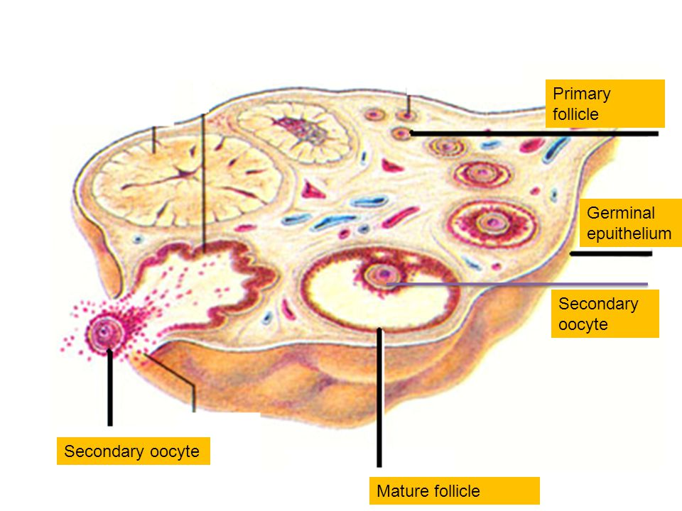 Secondary oocyte Mature follicle Secondary oocyte Germinal epuithelium Primary follicle