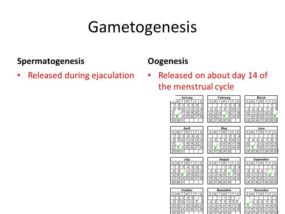 Gametogenesis Spermatogenesis Released during ejaculation Oogenesis Released on about day 14 of the menstrual cycle