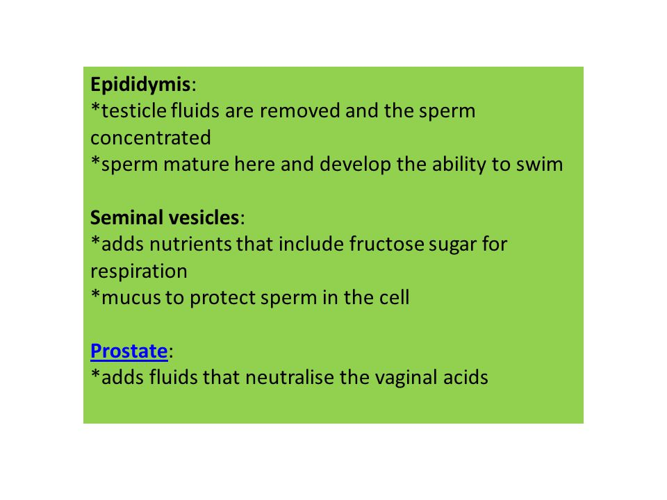 Epididymis: *testicle fluids are removed and the sperm concentrated *sperm mature here and develop the ability to swim Seminal vesicles: *adds nutrien