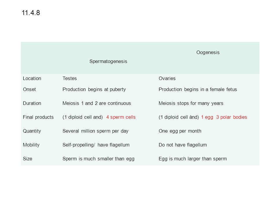Spermatogenesis Oogenesis LocationTestesOvaries OnsetProduction begins at pubertyProduction begins in a female fetus DurationMeiosis 1 and 2 are conti