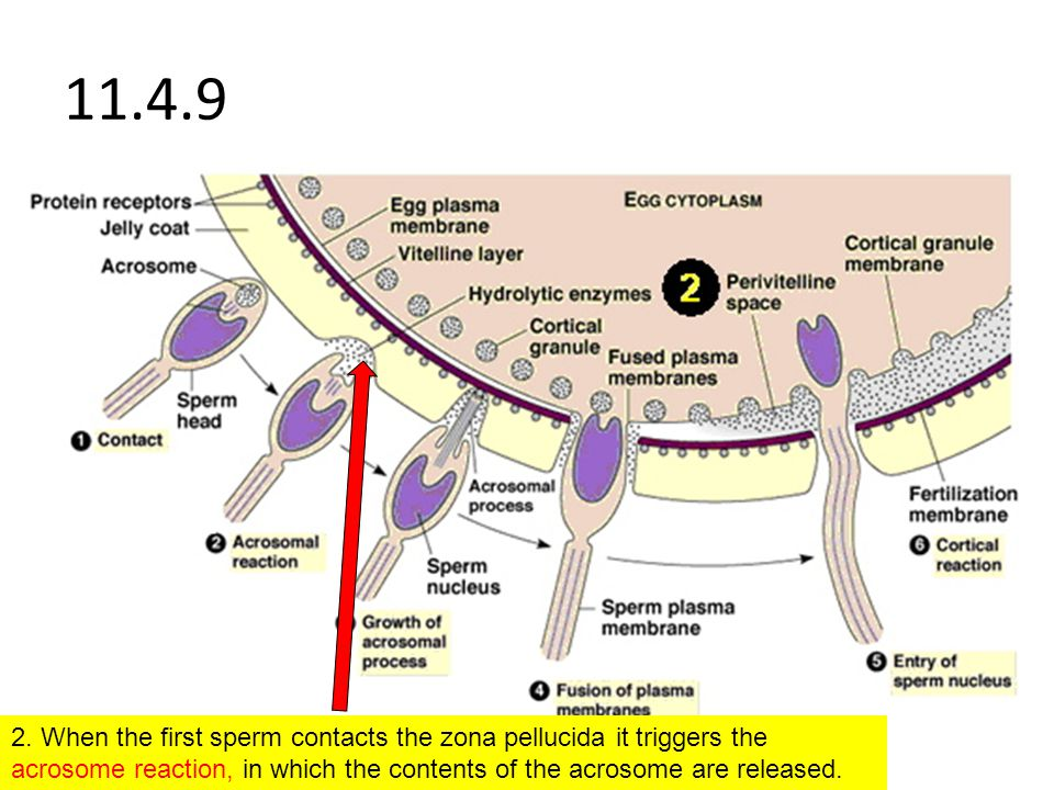 11.4.9 2. When the first sperm contacts the zona pellucida it triggers the acrosome reaction, in which the contents of the acrosome are released.