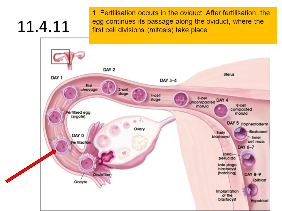 11.4.11 1. Fertilisation occurs in the oviduct. After fertilisation, the egg continues its passage along the oviduct, where the first cell divisions (