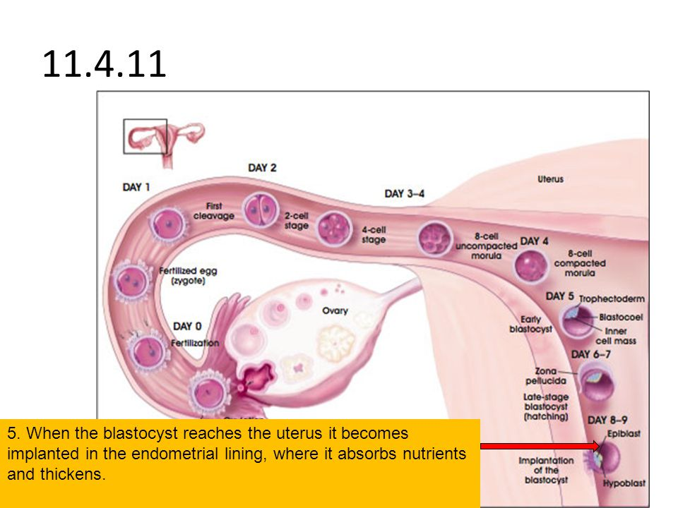 11.4.11 5. When the blastocyst reaches the uterus it becomes implanted in the endometrial lining, where it absorbs nutrients and thickens.