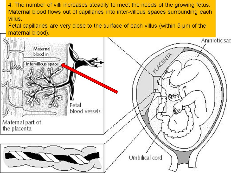 11.4.12 4. The number of villi increases steadily to meet the needs of the growing fetus. Maternal blood flows out of capillaries into inter-villous s