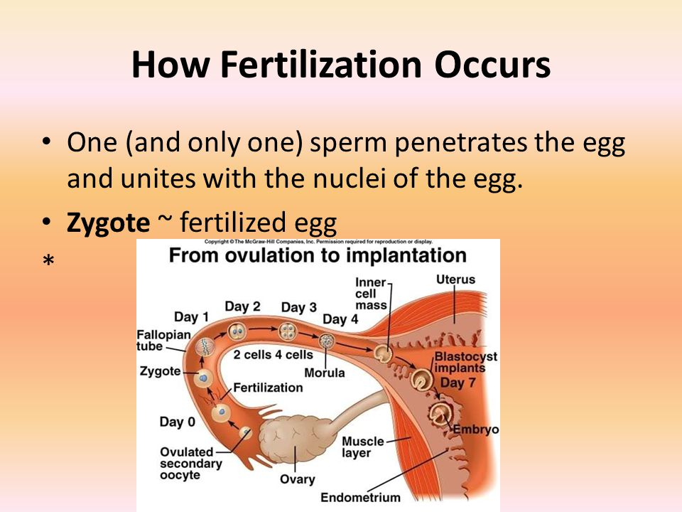How Fertilization Occurs One (and only one) sperm penetrates the egg and unites with the nuclei of the egg.