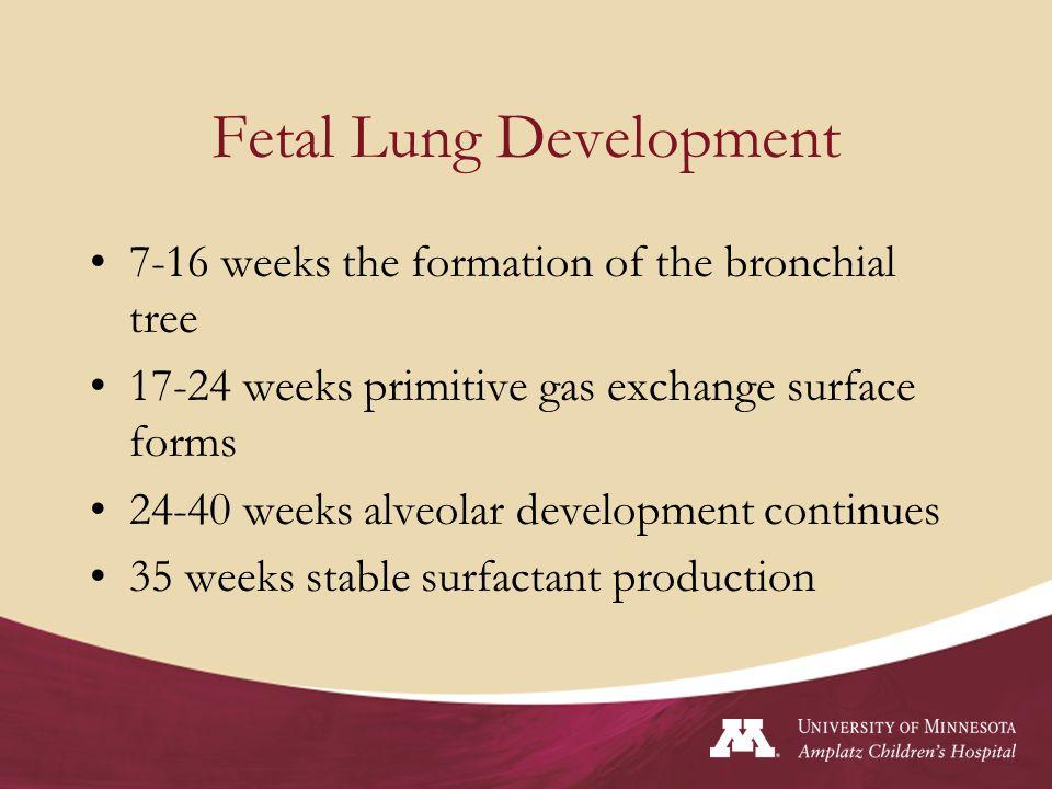 Fetal Lung Development 7-16 weeks the formation of the bronchial tree 17-24 weeks primitive gas exchange surface forms 24-40 weeks alveolar developmen