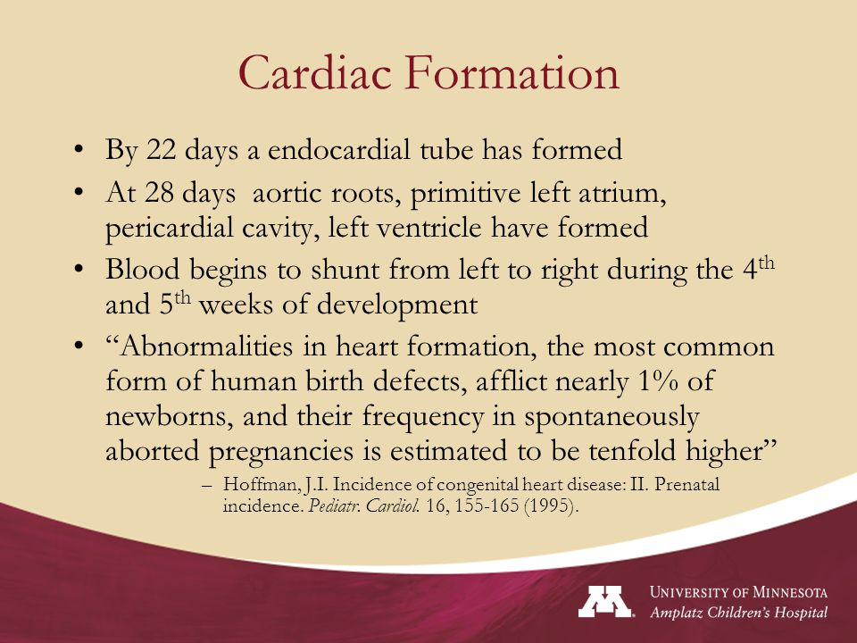 Cardiac Formation By 22 days a endocardial tube has formed At 28 days aortic roots, primitive left atrium, pericardial cavity, left ventricle have for