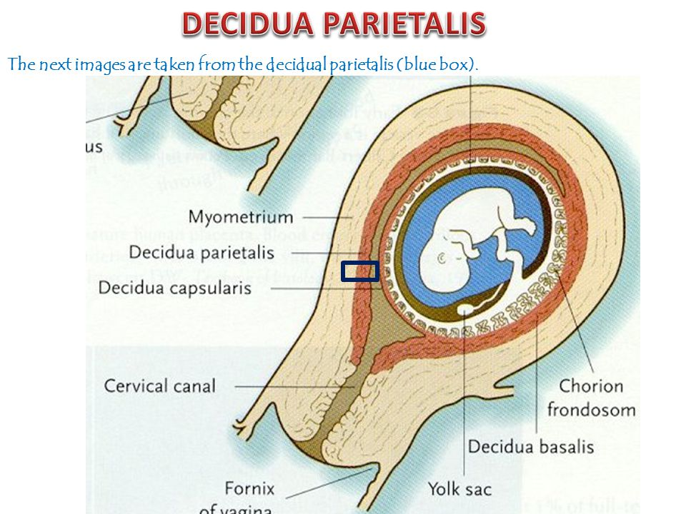 The next images are taken from the decidual parietalis (blue box).