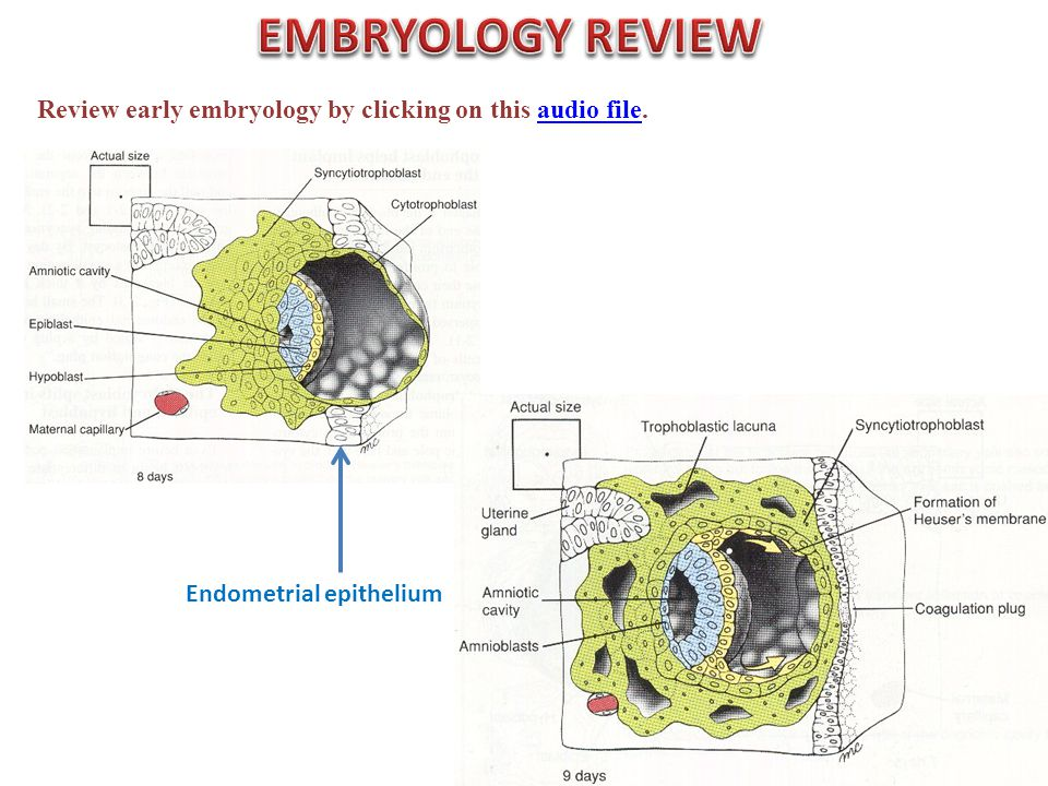 Review early embryology by clicking on this audio file.audio file