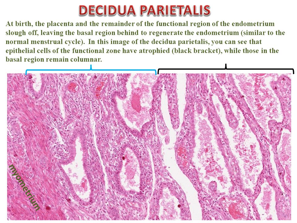 At birth, the placenta and the remainder of the functional region of the endometrium slough off, leaving the basal region behind to regenerate the endometrium (similar to the normal menstrual cycle).