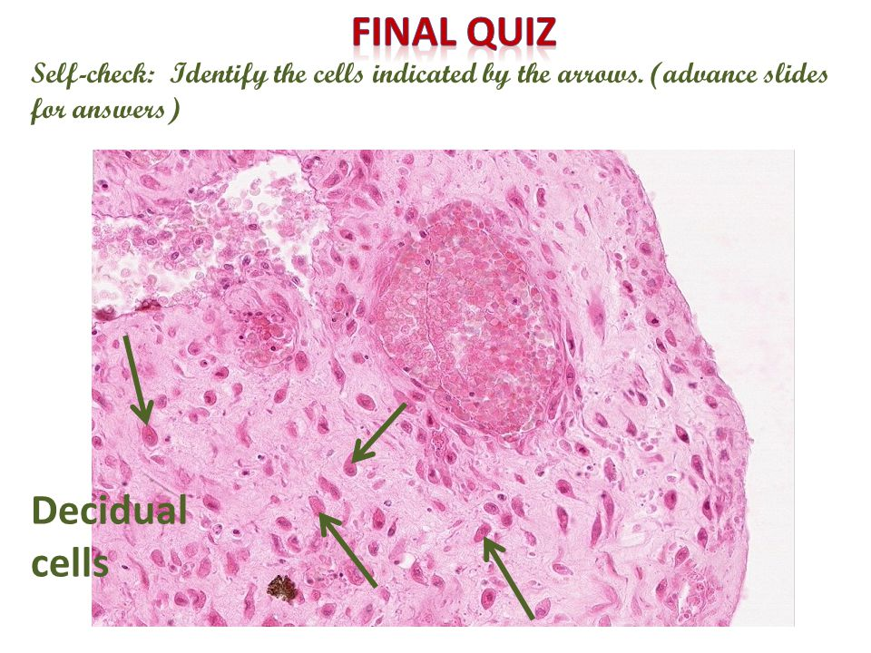 Self-check: Identify the cells indicated by the arrows. (advance slides for answers) Decidual cells