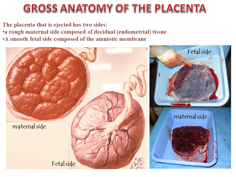 The placenta that is ejected has two sides: a rough maternal side composed of decidual (endometrial) tissue A smooth fetal side composed of the amniot