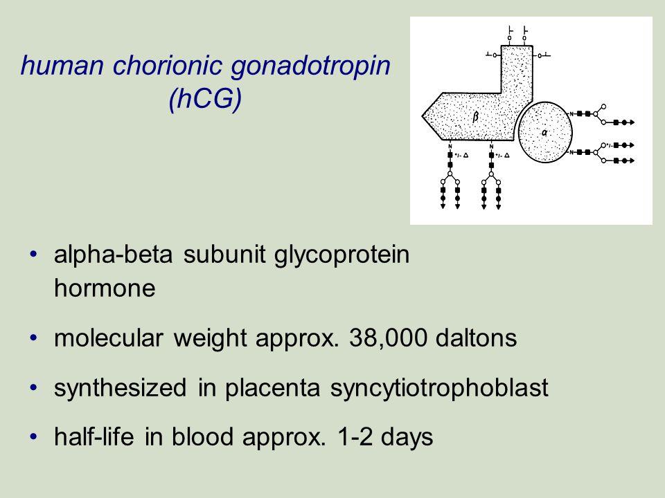 human chorionic gonadotropin (hCG) alpha-beta subunit glycoprotein hormone molecular weight approx. 38,000 daltons synthesized in placenta syncytiotro
