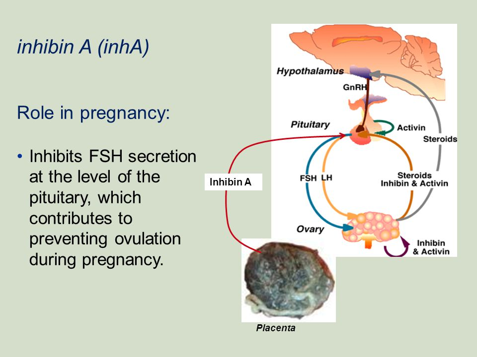 inhibin A (inhA) Role in pregnancy: Inhibits FSH secretion at the level of the pituitary, which contributes to preventing ovulation during pregnancy.