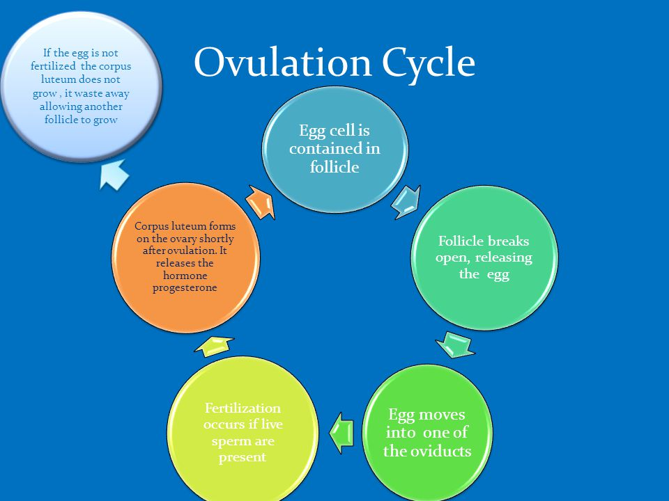Ovulation Cycle Egg cell is contained in follicle Follicle breaks open, releasing the egg Egg moves into one of the oviducts Fertilization occurs if live sperm are present Corpus luteum forms on the ovary shortly after ovulation.