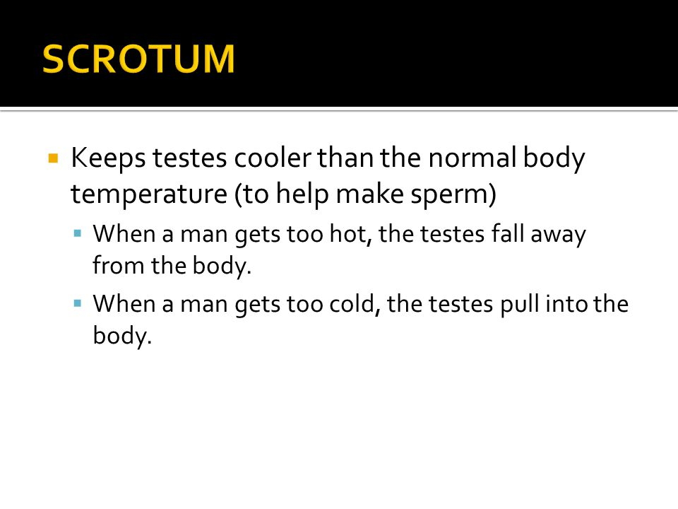  Keeps testes cooler than the normal body temperature (to help make sperm)  When a man gets too hot, the testes fall away from the body.  When a ma