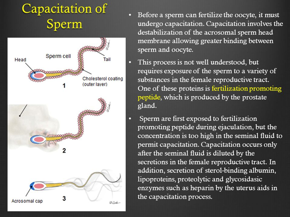 Before a sperm can fertilize the oocyte, it must undergo capacitation. Capacitation involves the destabilization of the acrosomal sperm head membrane