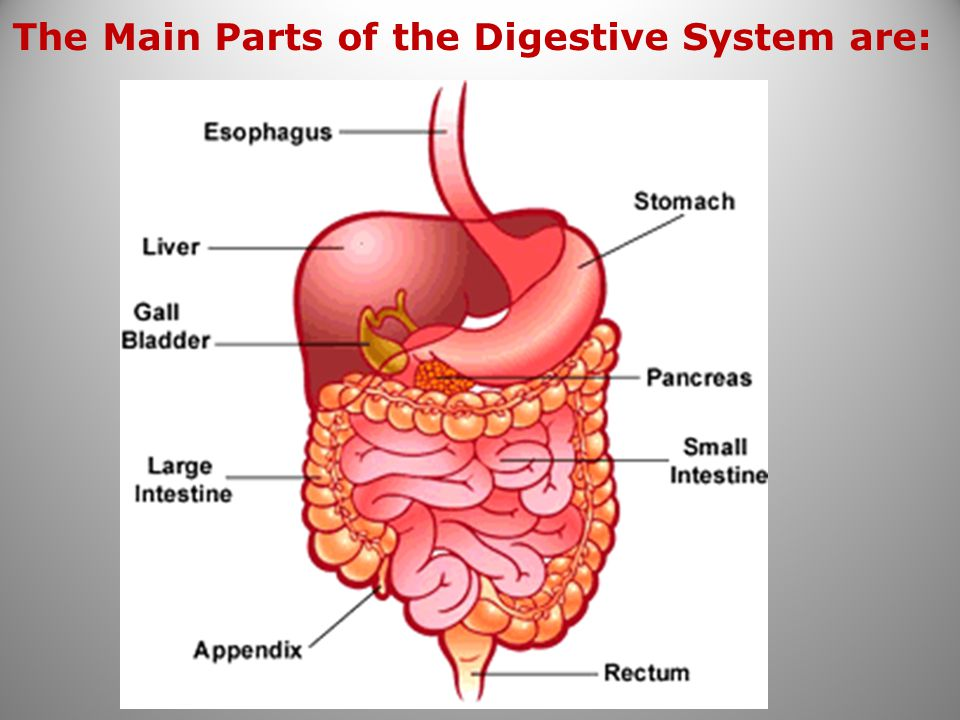 The Main Parts of the Digestive System are: 20